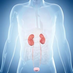 腎臓 膀胱